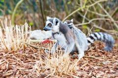 Ring-tailed lemur aka Lemur catta close up Stock Photos