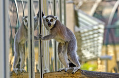 Ring-tailed lemur with astonished view Stock Photo