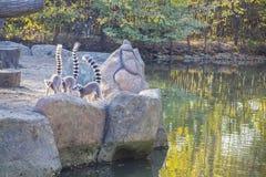 Ring-tailed Lemur auf Baum-Stumpf Lizenzfreie Stockfotos