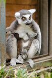 Ring-Tailed Lemur babies Royalty Free Stock Photos
