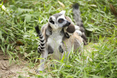 Ring-tailed lemur with babies on back. Close up of a ring-tailed lemur with babies on back Stock Photos
