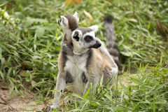 A ring-tailed lemur with babies on back. Close up of a ring-tailed lemur with babies on back Royalty Free Stock Image