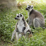 Ring-tailed lemur with babies. Close up of a ring-tailed lemur with babies on back Royalty Free Stock Photo