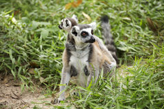 Ring-tailed lemur with babies. Close up of a ring-tailed lemur with babies on back Royalty Free Stock Photography