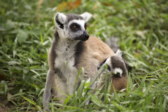 Ring-tailed lemur with babies. Close up of a ring-tailed lemur with babies on back Stock Photography