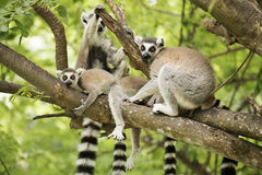 A ring-tailed lemur with babies. Close up of a ring-tailed lemur with babies on the tree Stock Photography