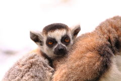 Ring tailed lemur baby Stock Images