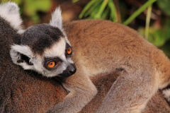 Ring tailed lemur baby. Beautiful ring tailed baby lemur on the back of the mother Stock Images