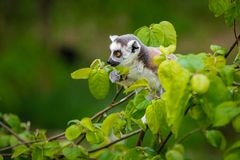 Ring-Tailed Lemur Baby stock images