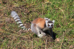 Ring-tailed lemur with baby Royalty Free Stock Photos