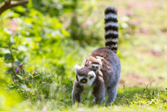 Ring-Tailed Lemur With Baby Royalty Free Stock Images