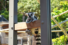 Ring-tailed lemur bachelor showing skepticism on a sunny day stock images