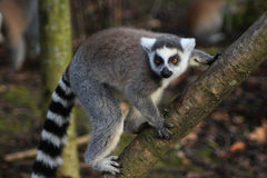 Ring tailed lemur branch Royalty Free Stock Photography