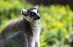 Ring tailed lemur in captivity Royalty Free Stock Photo