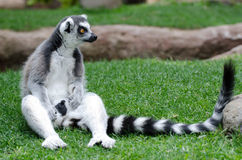 Ring Tailed lemur in captivity. A ring tailed lemur sitting on the grass in a zoo Stock Photo