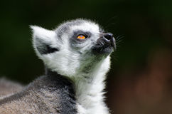 Ring Tailed lemur in captivity. A ring tailed lemur in a zoo Stock Images