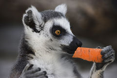 Ring-tailed lemur with carrot Stock Photography