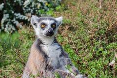 The ring-tailed lemur Lemur catta stock images