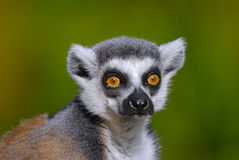 Ring tailed lemur catta Royalty Free Stock Photo