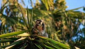 Ring-tailed Lemur. Lemur catta Royalty Free Stock Image