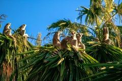Ring-tailed Lemur. Lemur catta Royalty Free Stock Photos