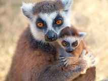 Ring tailed lemur catta. With baby Royalty Free Stock Image
