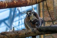 Ring-Tailed Lemur or Lemur catta Stock Image