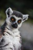 Ring Tailed Lemur - catta del lémur - de Madagascar tropical Fotos de archivo libres de regalías