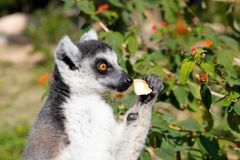Ring-tailed lemur eat apple, srgb image