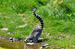 The ring-tailed lemur Stock Photography