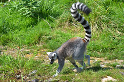 The ring-tailed lemur Royalty Free Stock Image