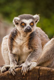 The ring-tailed lemur Stock Images