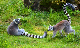 The ring-tailed lemur. Lemur catta is a large strepsirrhine primate and the most recognized lemur due to its long, black and white ringed tail Royalty Free Stock Photo
