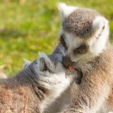 Ring-tailed lemur (catta Lemur) Стоковые Изображения RF