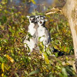 Ring-tailed lemur (catta Lemur) Стоковая Фотография