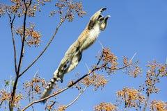 Ring-tailed lemur, catta lemur, anja стоковые фотографии rf