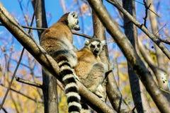Ring-tailed lemur, catta lemur, anja Стоковое фото RF