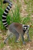 Ring-tailed lemur. (Lemur catta) in Madagascar Royalty Free Stock Image