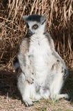 Ring-tailed lemur Catta. Sitting Ring-tailed lemur Catta royalty free stock images