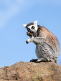 Ring-tailed lemur. Ring-tailed lemur Lemur catta sitting on a rock eating fruit. Blue sky background Royalty Free Stock Photo
