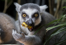 Ring tailed lemur. (Lemur Catta) staring intensely at camera while eating Stock Photos