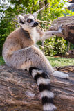 Ring-tailed lemur. Lemur catta during a summer day Royalty Free Stock Photos