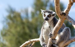 A ring-tailed lemur Lemur catta on tree. The ring-tailed lemur Lemur catta is a large strepsirrhine primate and the most recognized lemur due to its long, black Royalty Free Stock Photos