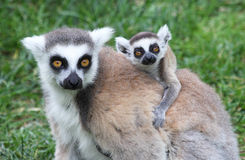 Ring-tailed Lemur Catta With Baby Royalty Free Stock Photography