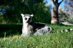 Ring-tailed lemur. A  ring-tailed lemur chilling on the grass Stock Photo