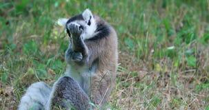 Ring Tailed Lemur Cleaning His-Bont en Zijn Vingers door hen Te likken stock video