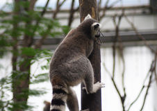 Ring tailed lemur climbing Stock Photo