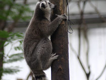 Ring tailed lemur climbing Royalty Free Stock Image
