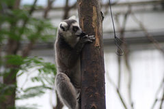 Ring tailed lemur climbing Stock Photography