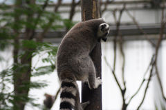 Ring tailed lemur climbing Stock Image